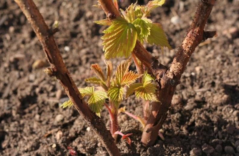 Как и чем подкармливать малину весной, чтобы получить крупные ягоды