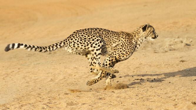 Скоростные рекордсмены в мире животных