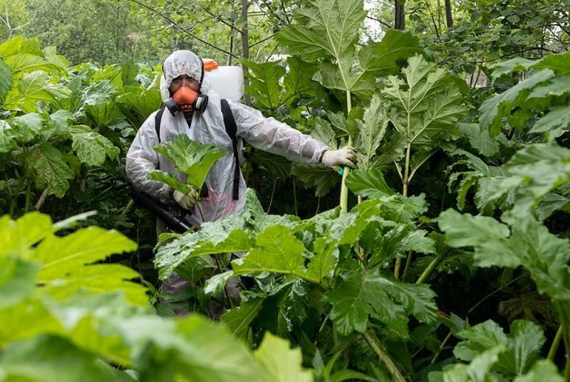 Новые штрафы за некоторые запрещённые растения на дачном участке